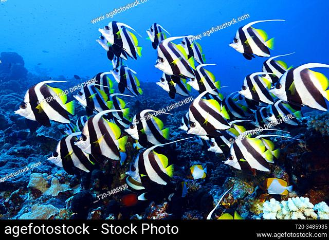 Shoal of Longfin Bannerfish, Heniochus acuminatus, Ahe Atoll, Tuamotu Archipel, French Polynesia