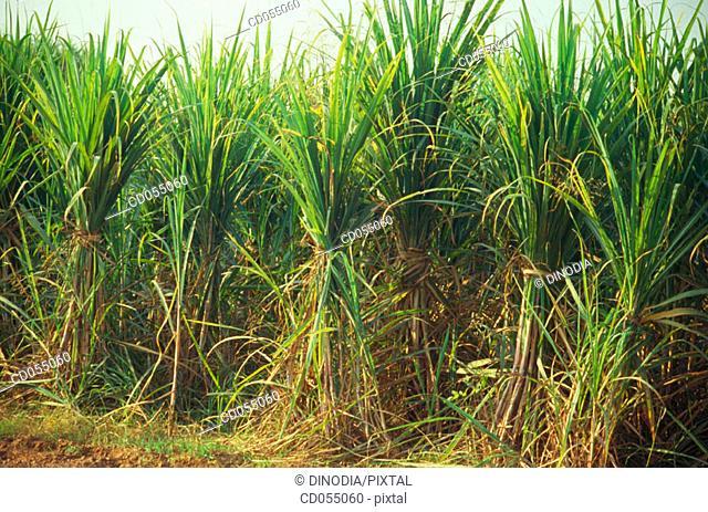 Sugar cane field. Punjab. India