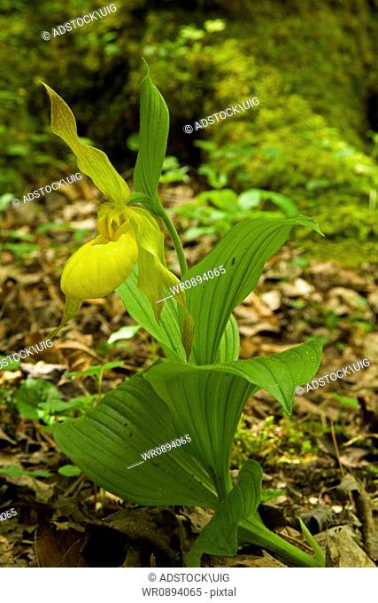 Yellow Lady's-Slipper, Spring, Great Smoky Mountains National Park, TN, USA