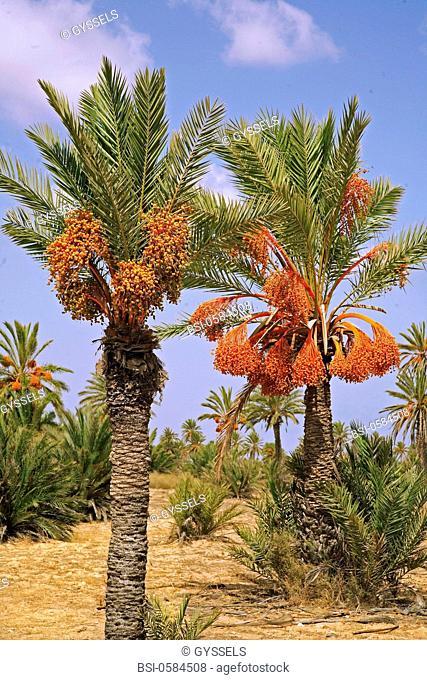Photo essay. Palm grove : plantation of date palms Phoenix dactylifera. Kerkennah Islands, Tunisia. Date palm is a dioecious plant