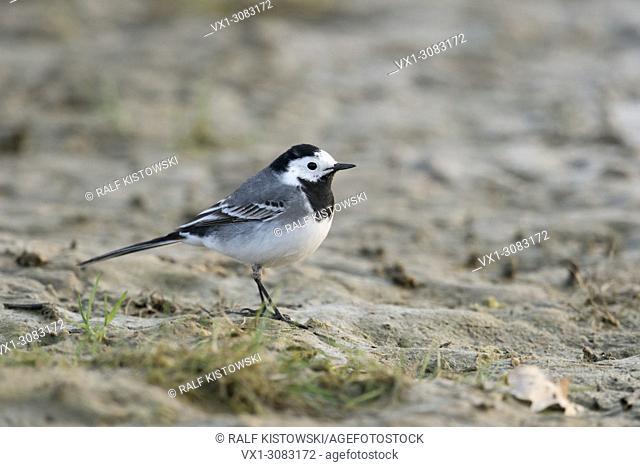 Wagtail ( Motacilla alba ), adult bird, sitting on the ground, in its natural habitat, a mud flat, wildlife, Europe