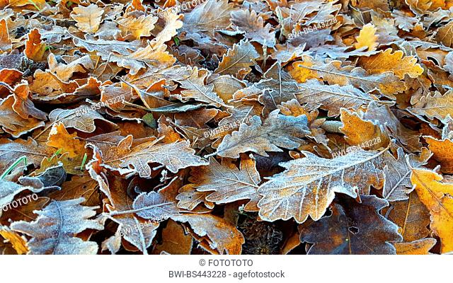 Sessile oak (Quercus petraea, Quercus sessilis), oak leaves with hoarfrost on the ground, Germany