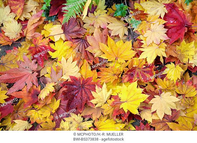 Japanese maple (Acer japonicum), autumn leaves on the ground