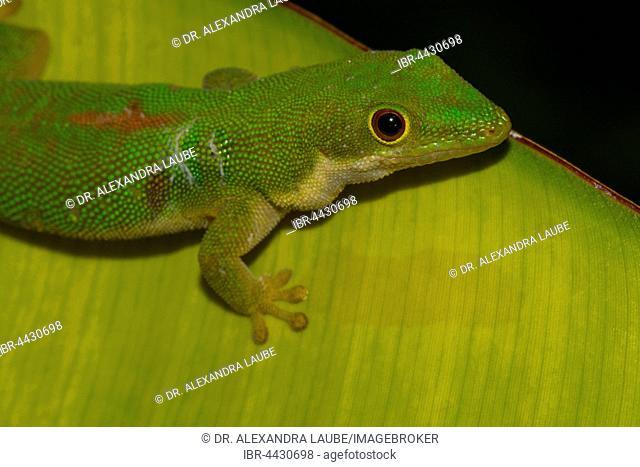 Peacock day gecko (Phelsuma quadriocellata bimaculata) on palm leaf, island of Nosy Nato near St. Marie, Ile Sainte-Marie, east coast, Madagascar