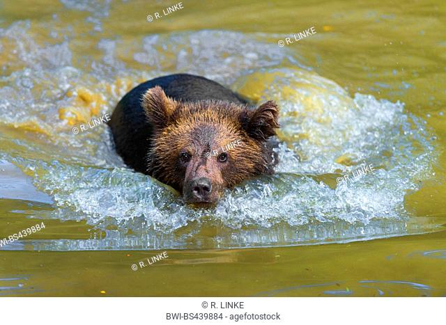 European brown bear (Ursus arctos arctos), bear cub swimming in a pond, front view, Germany, Bavaria, Bavarian Forest National Park