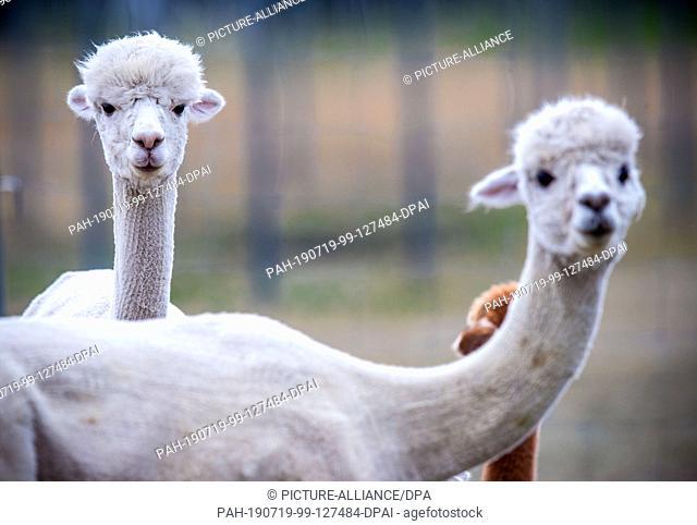 09 July 2019, Brandenburg, Walsleben: Alpacas stand in an extensive enclosure of a breeder. In the north of Brandenburg, a family business breeds the animals