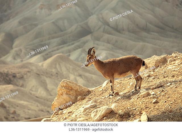 The nubian ibex wild goat from the Negev Desert