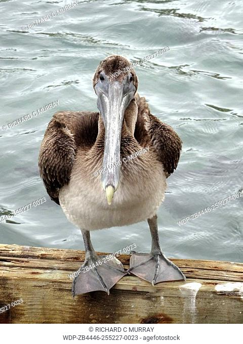 La Guancha Boardwalk Brown Pelican (Pelecanus occidentalis) Posing-Ponce, Puerto Rico
