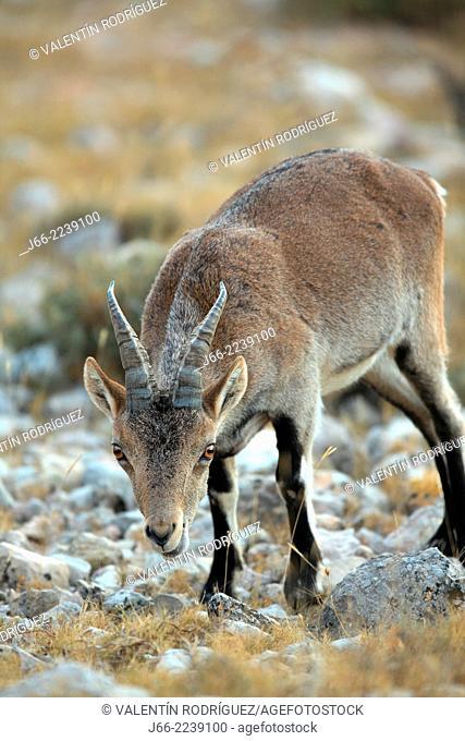 ibex (Capra pyrenaica), young male feed. Natural Park Els Ports, Horta de San Joan. Tarragona