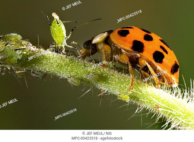 Asian Ladybird Beetle (Harmonia axyridis) on a stalk with aphids, Belgium