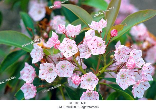 mountain laurel Kalmia latifolia, blooming, North America