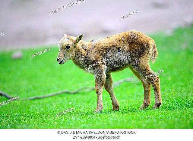 Close-up of a Barbary sheep (Ammotragus lervia) lamkins on a meadow in spring