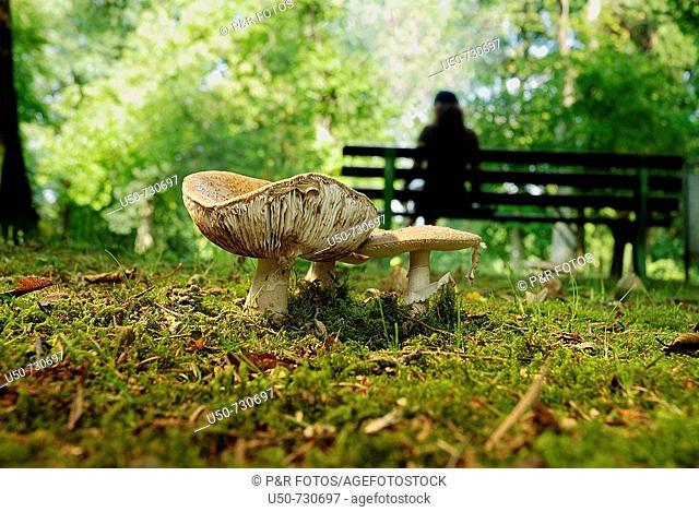 Poisonous mushroom, Amanita pantherina, Homobasiodimycetes, Agaricales, Amanitaceae