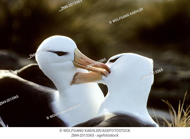 FALKLAND ISLANDS, NEW ISLAND, BLACK-BROWED ALBATROSS PAIR AT NEST PREENING FEATHERS