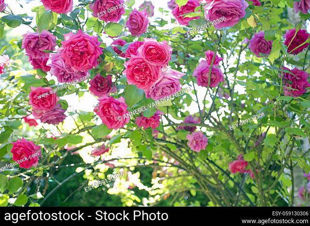 field of pink roses Rosaceae against blue sky with green leafs in garden in the summer background texture romantic design copy space