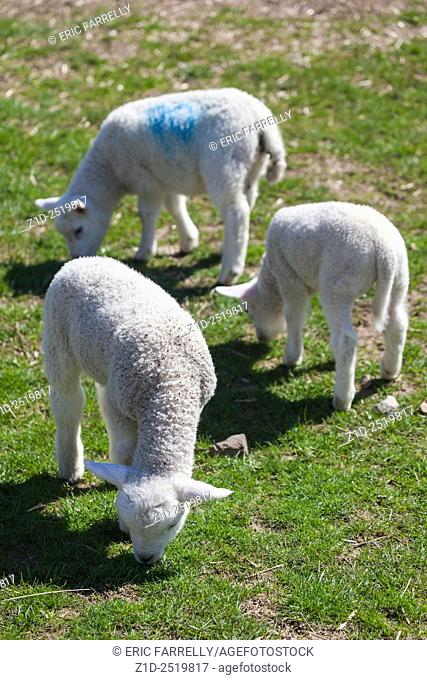 Spring lambs. Auchingarrich wildlife park Perthshire Scotland UK