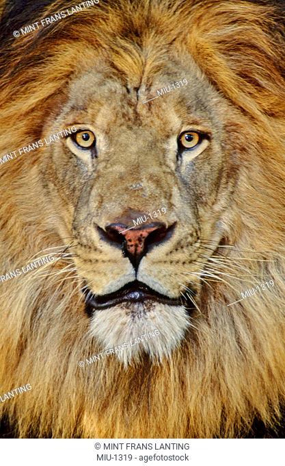 Male lion, Panthera leo, Masai Mara Reserve, Kenya