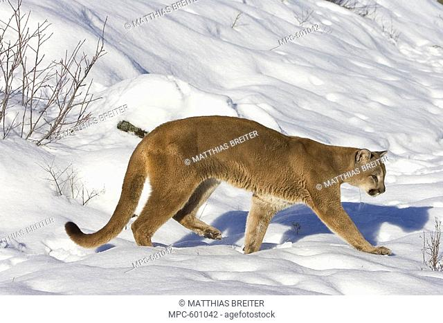 Mountain Lion Puma concolor hunting in the snow, Kalispell, Montana