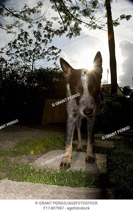 australian cattle dog standing on steps with cool lighting