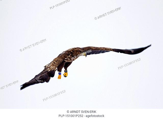 Banded White-tailed Eagle / Sea Eagle / Erne (Haliaeetus albicilla) juvenile in flight in winter