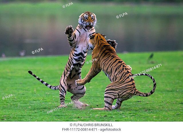 Indian Tiger (Panthera tigris tigris) two cubs, sixteen-months old, fighting, Ranthambore N.P., Sawai Madhopur, Rajasthan, India, June