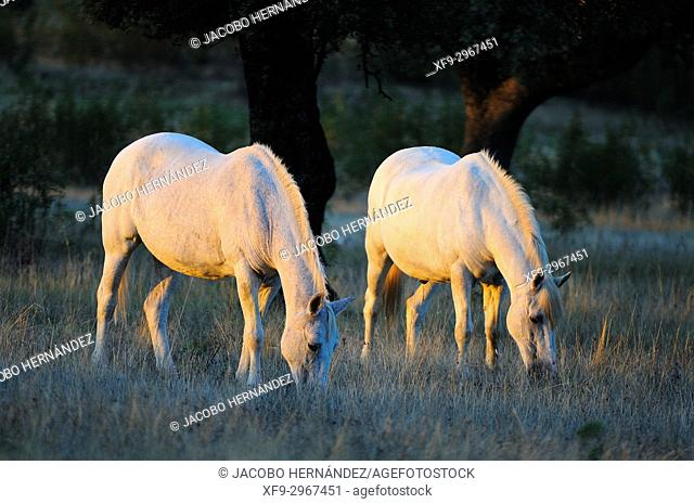 Horses in meadow at dawn. Sierra de San Padro Natural Reserve. Cáceres province. Extremadura. Spain