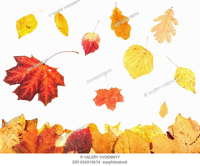 leaf litter and falling autumn leaves isolated on white background