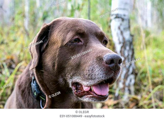 look at the chocolate labrador aside in the woods