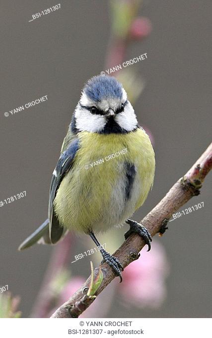 Blue tit Blue tit Cyanistes caeruleus. Cyanistes caeruleus  Blue tit  Parid  Tit  Passerine  Bird