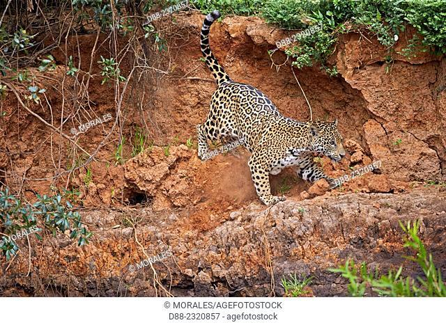 South America,Brazil,Mato Grosso,Pantanal area,jaguar (Panthera onca),walking
