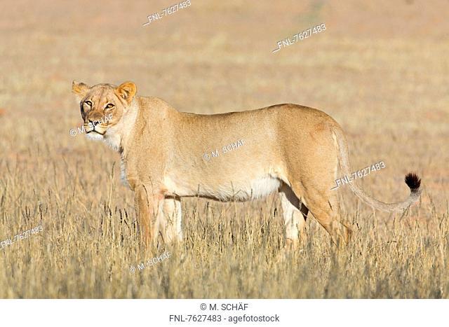 Lioness (Panthera leo), Botswana