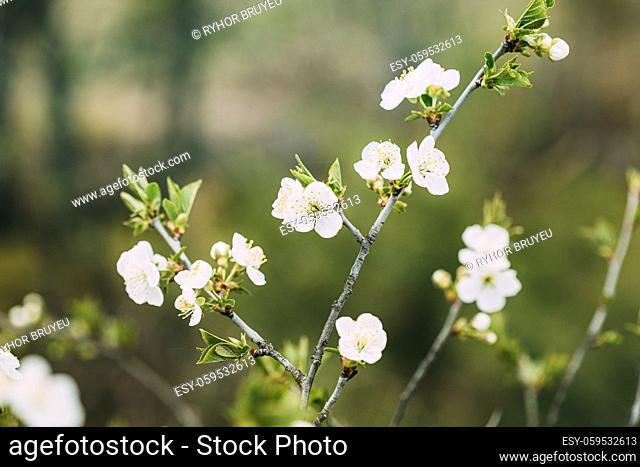 White Young Spring Flowers Growing In Branch Of Tree in Forest