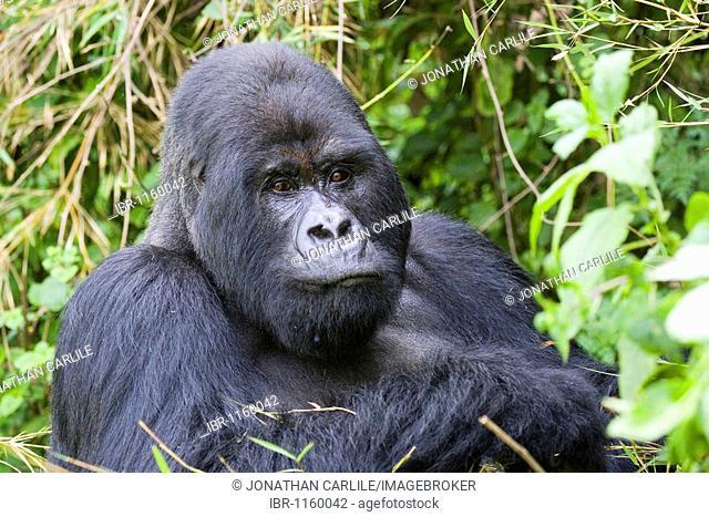Mountain Gorilla (Gorilla gorilla beringei), Volcanoes National Park, Rwanda, Africa