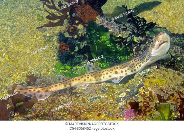 Common dogfish. Lesser spotted dogfish (Scyliorhinus canicula) Eastern Atlantic. Galicia. Spain. Europe