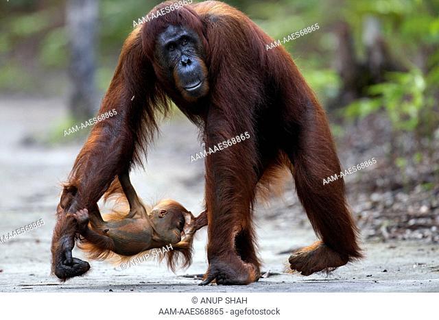 Bornean Orangutan female 'Tutut' walking along a trail withher playful baby 'Thor' aged 8-9 months hanging from her leg (Pongo pygmaeus wurmbii)
