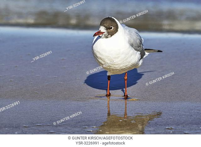 Detail view of a Black-headed gull on the beach of the Baltic Sea in Kolobrzeg, West Pomeranian, Poland, Europe