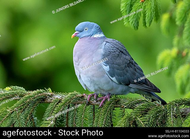 Common Wood Pigeon (Columba palumbus). Adult resting on a spruce twig. Germany