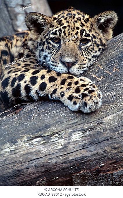 Jaguar cub Panthera onca