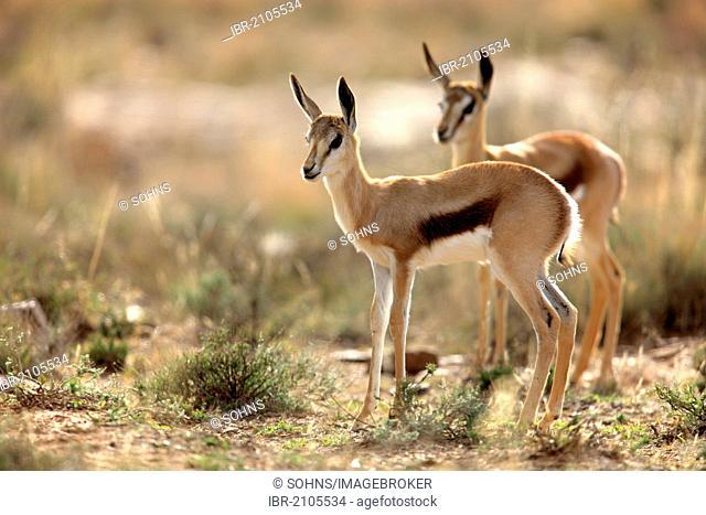 Springbok (Antidorcas marsupialis), two juveniles, Mountain Zebra National Park, South Africa, Africa