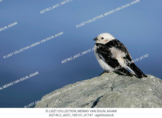 Snow Bunting male perched on rock, Snow Bunting, Plectrophenax nivalis