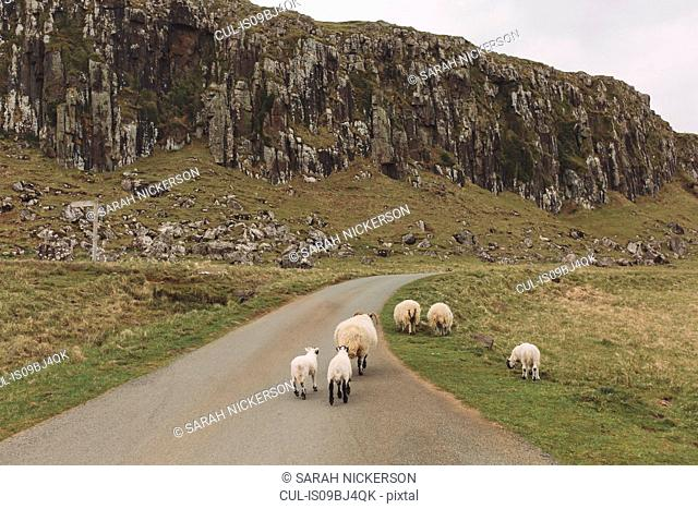 Sheep on road, Orbost, Isle of Skye, Scotland, UK