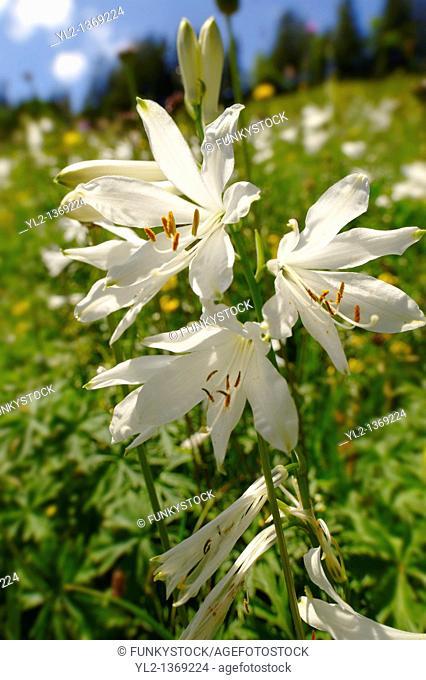 St Bruno's Lily  Paradisea lilliastrum   Alpine summer meadow  Bernese Alps