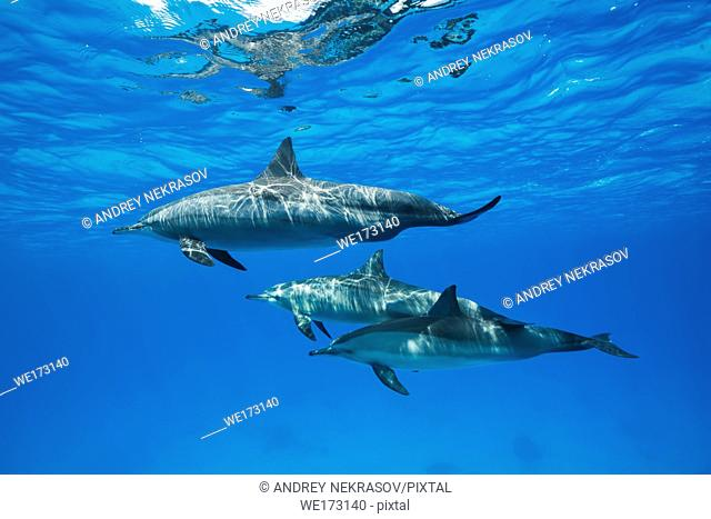 Family of dolphins swim in the blue water. Spinner Dolphins (Stenella longirostris). Red Sea, Sataya Reef, Marsa Alam, Egypt