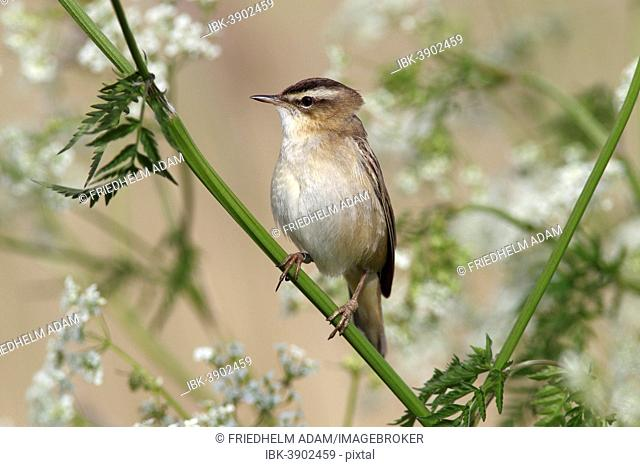Sedge Warbler (Acrocephalus schoenobaenus), singing, perched on Cow Parsley (Anthriscus sylvestris), Lauwersmeer National Park, Holland, The Netherlands
