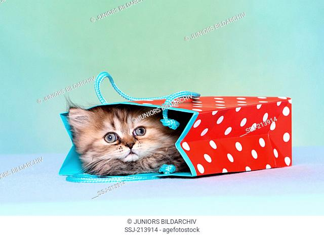 Persian Longhair. Kitten (6 weeks old) lying in a red bag with white polka dots. Studio picture against a blue background. Germany