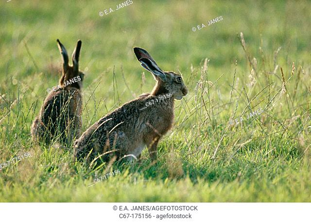 Brown or Cape Hare (Lepus capensis)