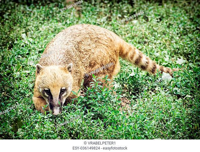 Nasua (Ring-tailed coati) hiding in the green vegetation. Animal scene