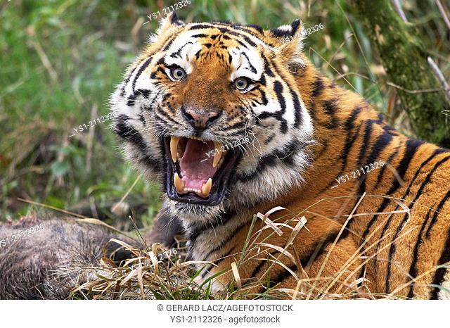 Siberian Tiger, panthera tigris altaica, Adult with a Kill, Snarling in Defensive Posture