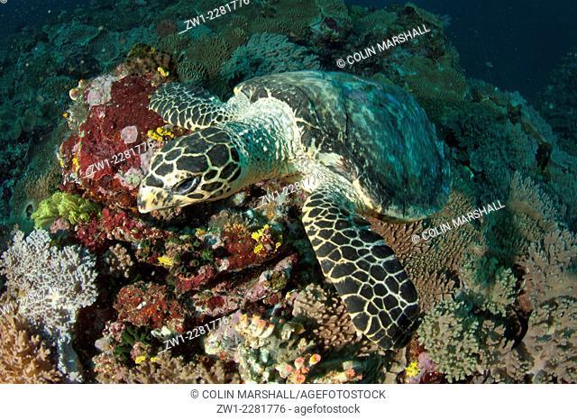 Loggerhead Turtle (Caretta caretta) resting on coral, Pillarstein dive site, Padar Island, Komodo National Park, Indonesia