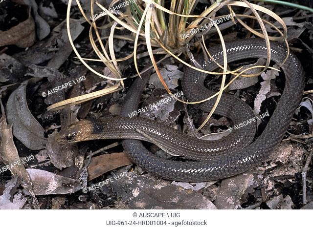 Brigalow scaly-foot, Paradelma orientalis, a legless lizard that rears up when threatened, Chesterton Range National Park, Queensland, Australia